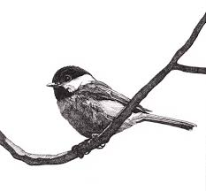 chickadee clipart chickadee illustration pencil and in color