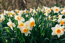 download wallpaper daffodils flowers flower bed hd background