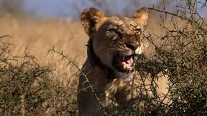 lion warriors national geographic channel sub saharan africa