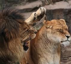 Leo Season Meme - create meme lions lions lion leo pictures meme arsenal com