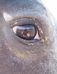 Night Blindness Information Researchers Pinpoint Link Between Appaloosa Coloring And Night