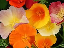 California Poppy California Poppy Rainbow Mix Baker Creek Heirloom Seeds
