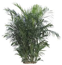 Indoor Plants That Don T Need Sunlight by Chinese Evergreen Is A Very Adaptable Plant It Tolerates Low