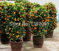 50 kumquat potted plant seeds fruit orange tree seed ornamental