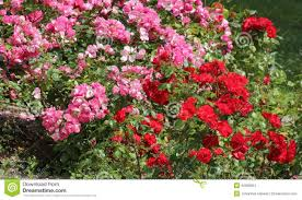 ornamental roses stock image image of created city 42909851