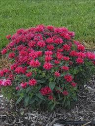 monarda u0027cambridge scarlet u0027 herbaceous perennial april showers