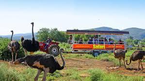 safari safari ostrich farm ostrich farm in oudtshoorn south africa