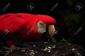 a red color macaw bird eating sunflower seed stock photo picture