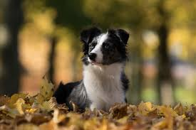 commercials with australian shepherds free images puppy autumn border collie leaves vertebrate