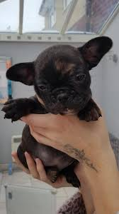 merle bulldog dogs and puppies rehome buy and sell in the uk