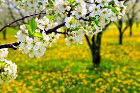 image of spring flowers spring flowering tree photo information