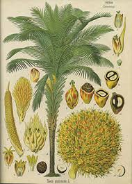 Minyak Kelapa Sawit Terkini kelapa sawit bahasa melayu ensiklopedia bebas