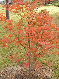 japanese maples east gardening