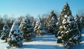 Pacific Northwest Christmas Tree Association - christmas trees are a big small business