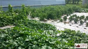 black plastic mulch weed free gardening a farmish kind of life