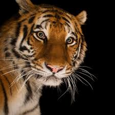 of tiger animal