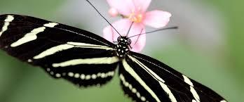 what do butterflies eat facts about butterflies