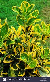 Euonymus Topiary Euonymus Garden