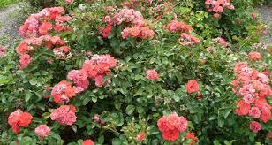 drift roses drift summer flowering shrub