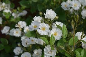 small white flowers shrub is a flower powerhouse gardeninacity