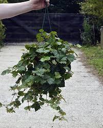 cissus rhombifolia grape ivy plants pinterest plants