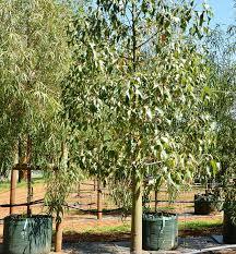 trees fleming s