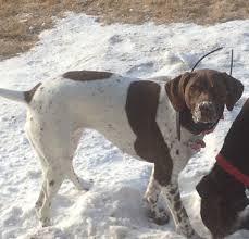 billings mt craigslist lost dog billings montana roxie