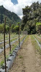 hortomallas tomato trellis netting will last many growing seasons