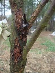 cherry tree damage any repair i should do