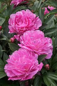 pianese flowers peony herbaceous rhs gardening