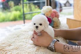 bichon frise instagram mercy bichon frise u2013 rolly teacup puppies