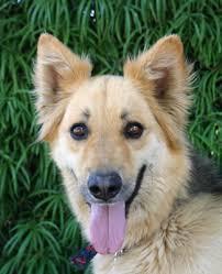 belgian sheepdog golden retriever mix westside german shepherd rescue of los angeles