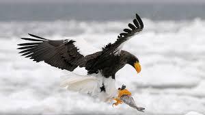 steller u0027s sea eagle san diego zoo animals u0026 plants