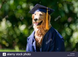 dog graduation cap and gown golden retriever dog graduation cap stock photos golden