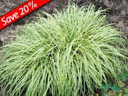best 25 grasses for shade ideas on shade grass grow