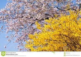 Yellow Flowering Trees - spring blooming trees stock photo image 40252284