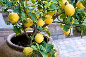 houston fruit tree sale container gardening how to grow lemon fruit trees in containers