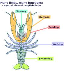 how many legs does a crayfish have oasis amor fashion