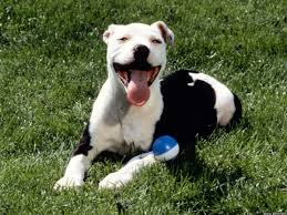 american pitbull terrier dalmatian mix pitbull wallpapers android apps on google play