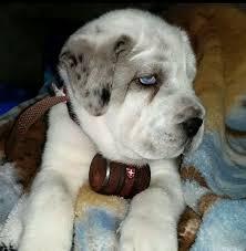 belgian shepherd golden retriever mix mixed dog breeds shop for your cause