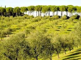 photo olive trees on a hill in rome jeff geerling