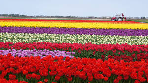 Netherlands Tulip Fields Tulips Tag Wallpapers Tulips Nature Wallpaper Windows 7 Field