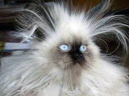 Crazy Cat Meme - crazy hair cat blank template imgflip