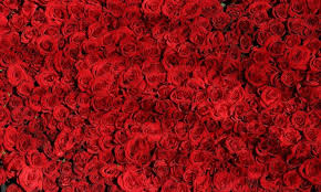 valentine roses backyard gardener gardening information
