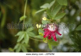 Rainforest Passion Flower - passion flower passiflora lady margaret hybrid between coccinea