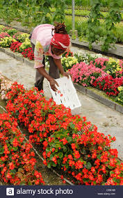edible flowers for sale worker picking edible flowers for sale balaguer lleida