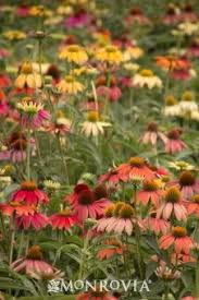 Learn More About Full Sun by Rudbeckia Goldstrum Black Eyed Susan 24