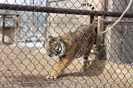 big cat sanctuary nevko