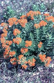 colorado native plants list a wandering botanist where to buy milkweeds to grow in colorado