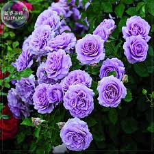 online buy wholesale climbing plants flowers from china climbing